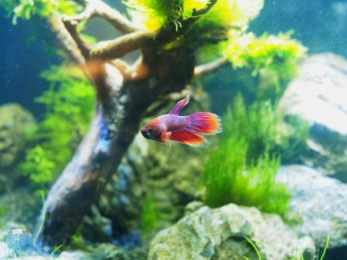 Betta Splendens im Superfish Home