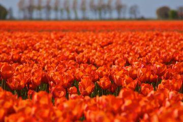 Tulips netherlands queensday