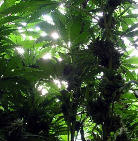 keep marijuana illegal Now that 23 states, plus washington, dc, have passed medical marijuana laws, the public is questioning the utility of keeping marijuana under lock and key, especially in light of the racist and propagandized basis for making it illegal in the first place.
