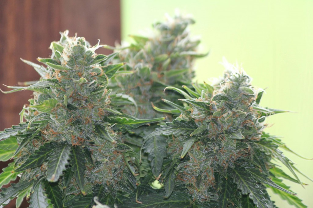 what are autoflowering plants-