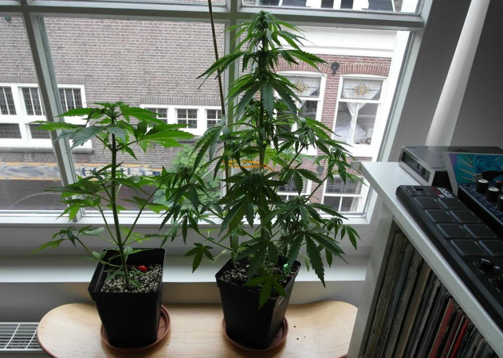 Autoflowering Marijuana Strains