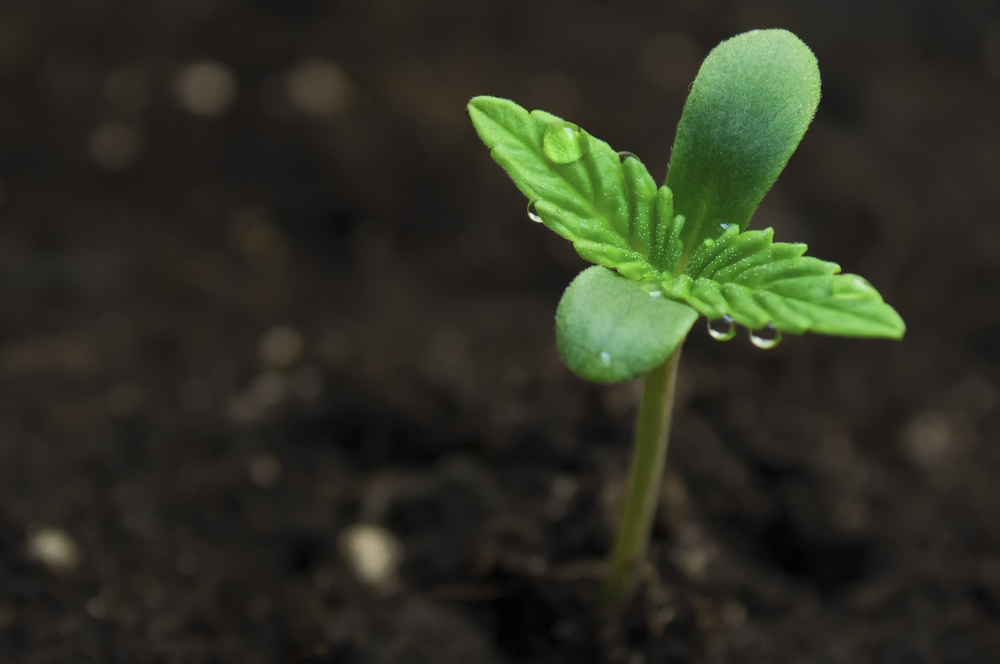 Miracle Grow Soil for Weed
