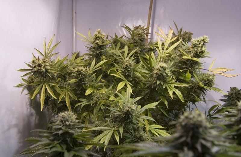 superthrive cannabis