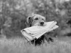 Mix bread dog holding the paper in black in white poster