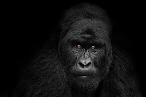 Silverback Gorilla staring poster