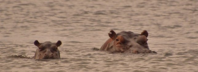Hippos at Loango National Park, Gabon