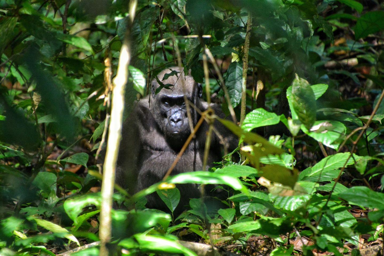 Tracking Western Lowland Gorillas, Gabon