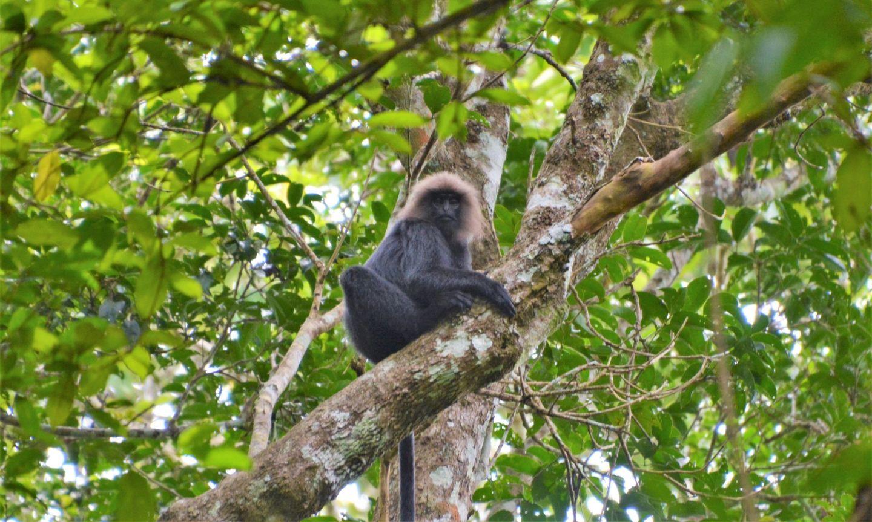 Monkeys, Periyar Tiger Reserve, Kerala