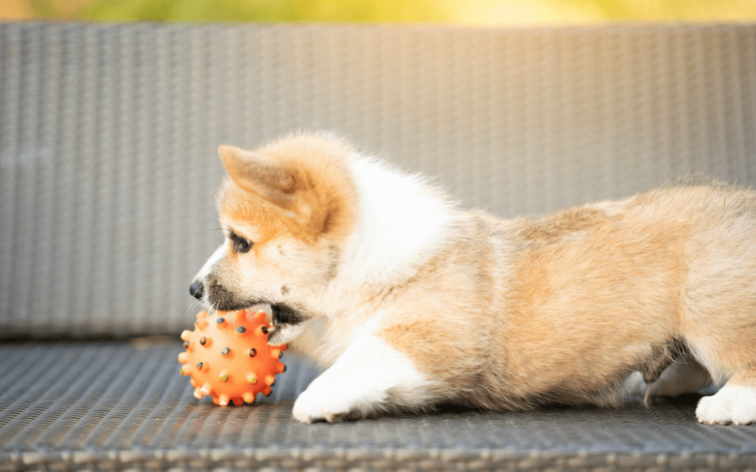 How To Stop Your Corgi Puppy From Nipping
