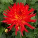 Dahlia firebrand (Small Cactus)