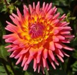 1. 3383_karma_sangria (Medium Semi-Cactus)