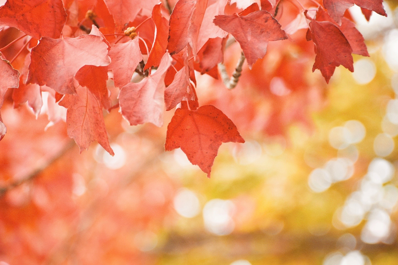 Some red fall leaves.