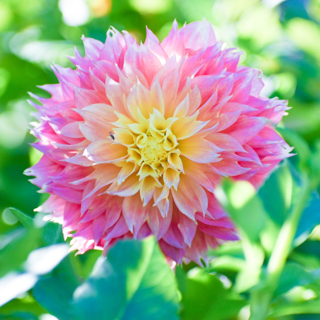 A pink dahlia with a yellow center