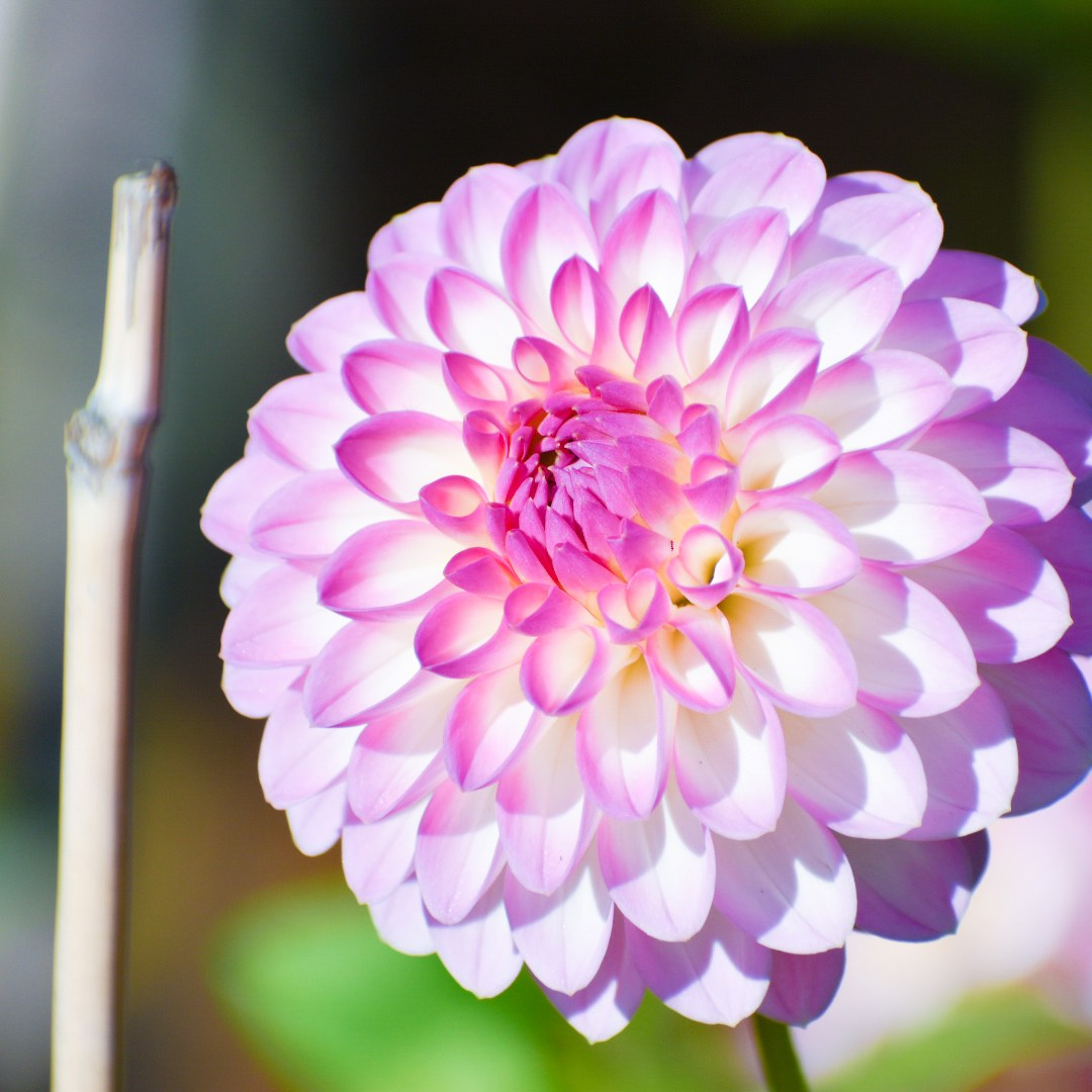 A white and pink dahlia