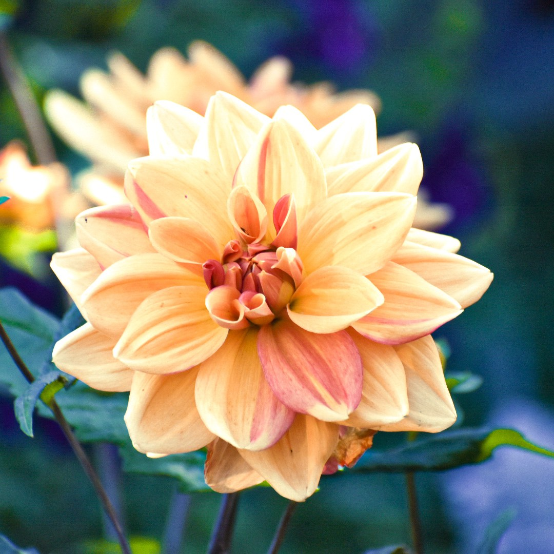 An orange and red dahlia
