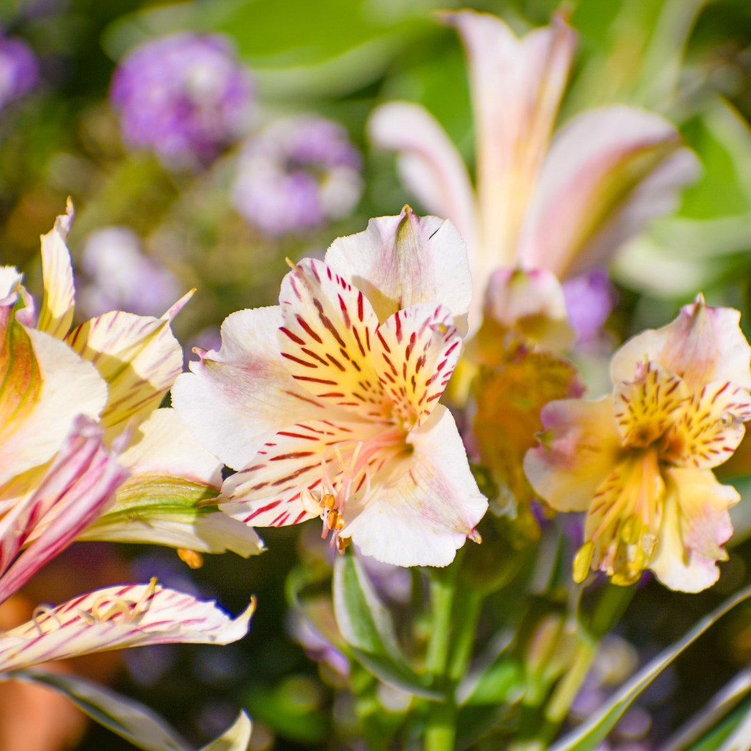 Some striped lily-looking flowers