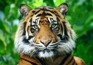 trop beau ce tigre