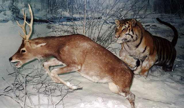 """Résultat de recherche d'images pour """"amur tiger hunting"""""""
