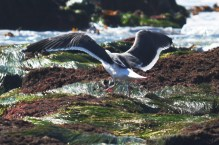 seagull-on-a-rock