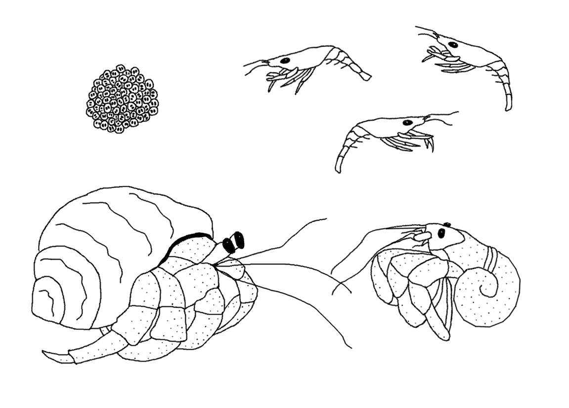 Hermit Crab Life Cycle