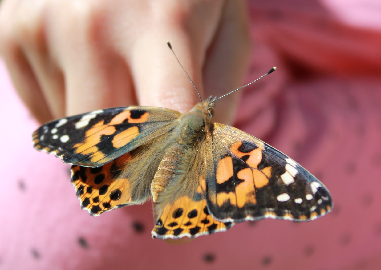 Painted Lady Butterfly Worksheet