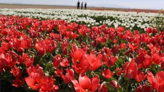 Cypressi grows flowers