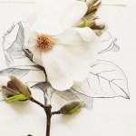 Sunday Bouquet: White Magnolia Sketch