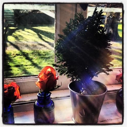 MINIATURE CHRISTMAS TREE TRADER JOES