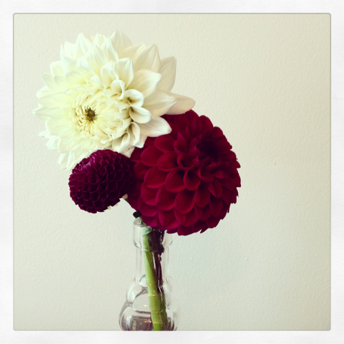 Red And White Dahlias