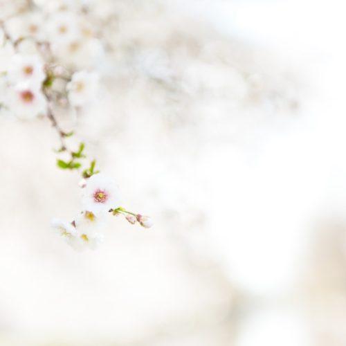 Boston Photographer Tess Atkinson Cherry Blossoms