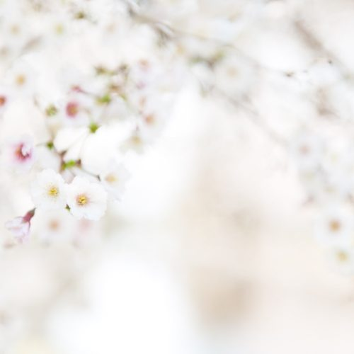 Boston Photographer Tess Atkinson Cherry Blossoms