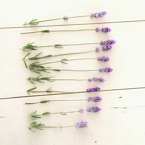 Sprigs of Lavender From StyleCarrot's Cape Cod Garden