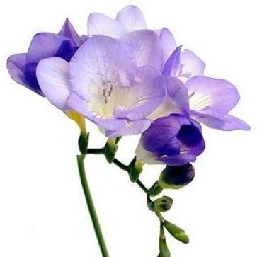 lavender_freesia