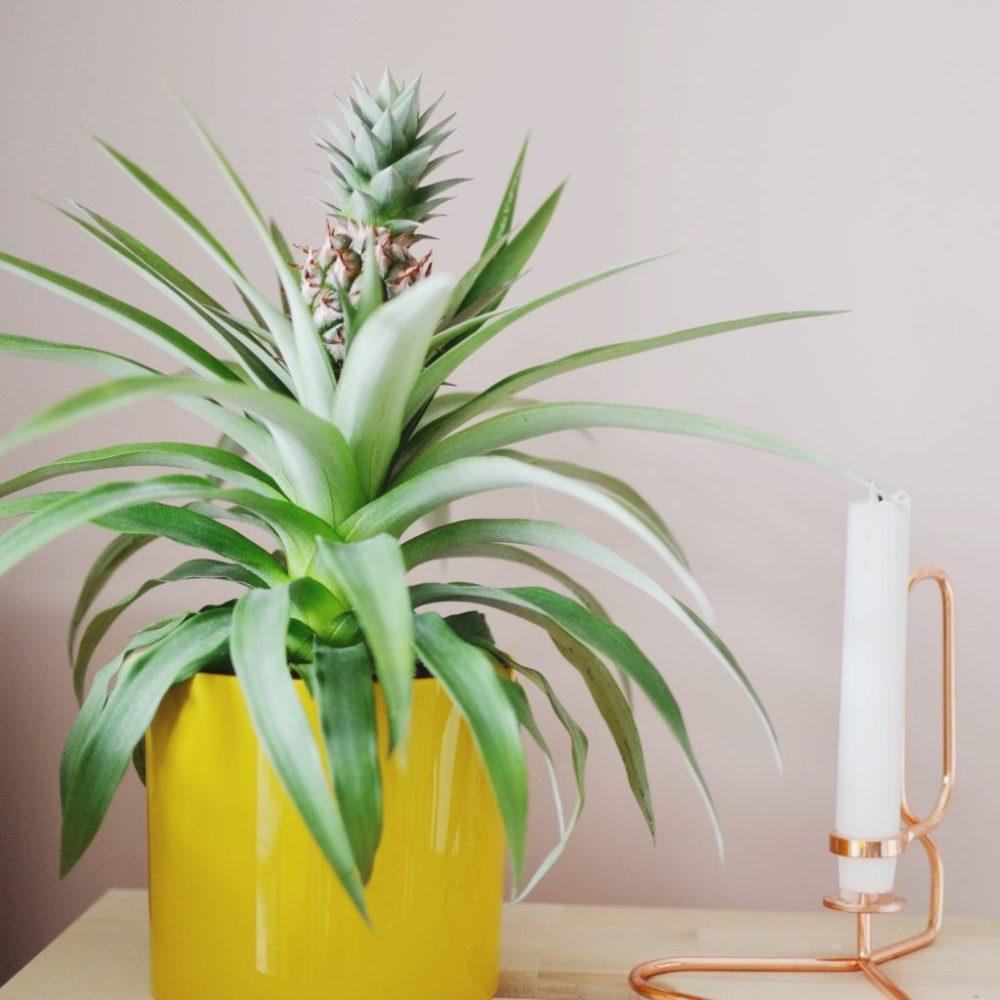 ananasplant gele pot