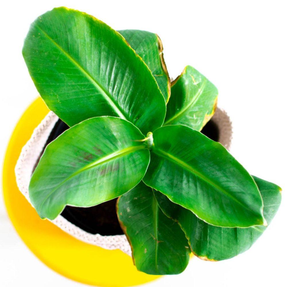 bananenplant musa