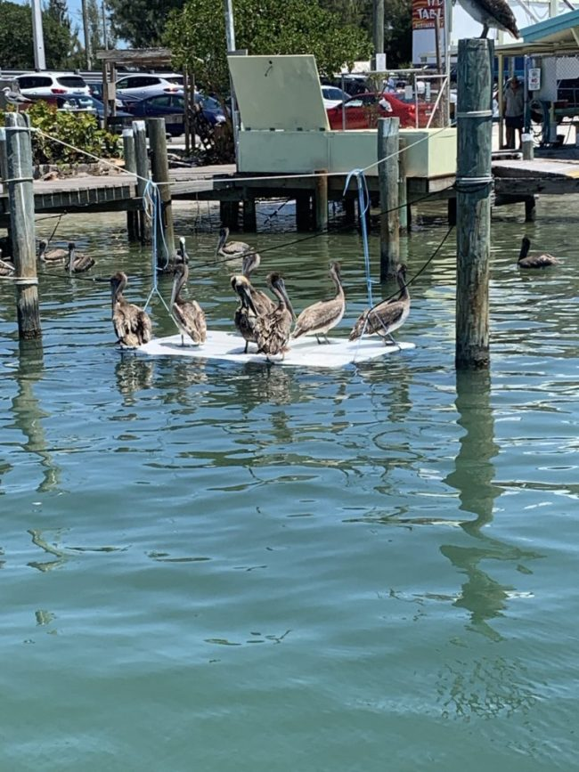 pelicans on board