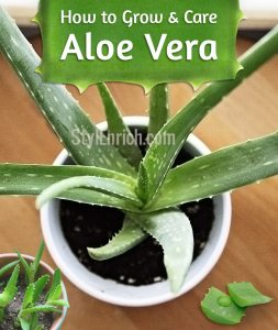 How to Grow Aloe Vera at Your Home