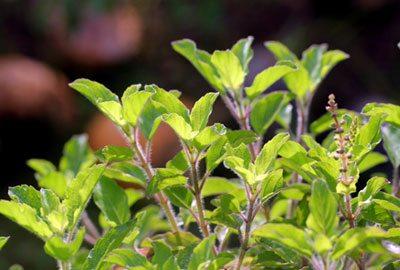 Basil herbs for headache