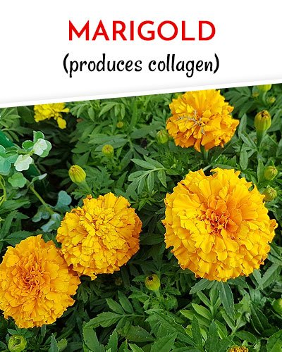 Marigold to Get Rid of Varicose Veins