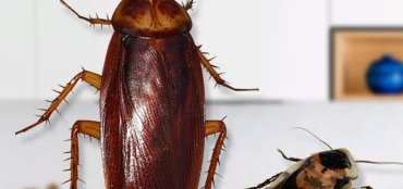 how to get rid of cockroaches in kitchen cabinets naturally