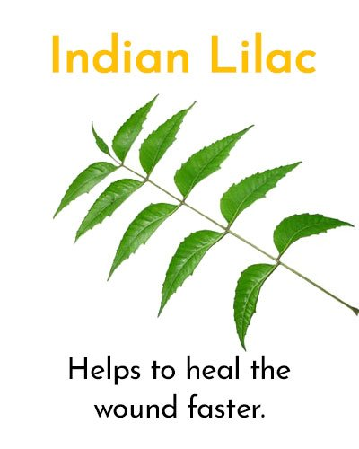 Indian Lilac for Minor Cuts and Grazes