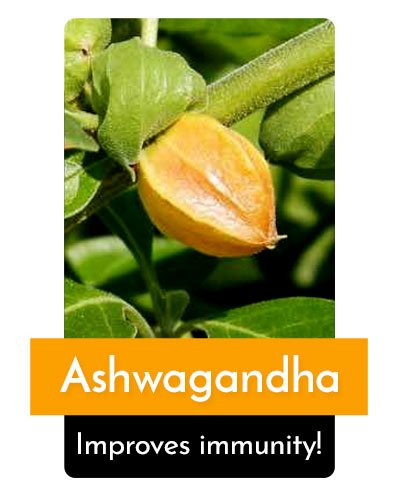 Ashwagandha Herb For Energy