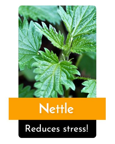Nettle Herb For Energy