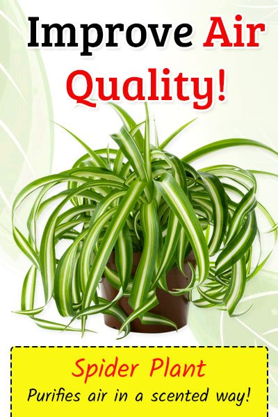 Spider Plant To Improve Air Quality