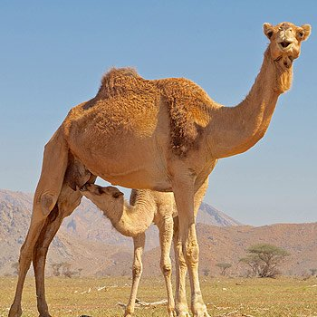 Health Benefits of Drinking Camel Milk