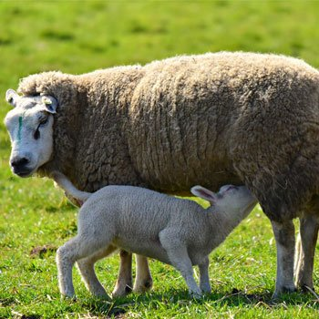 Sheep Milk Benefits for Skin and Health