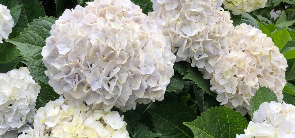 style of tennis running hydrangea 1