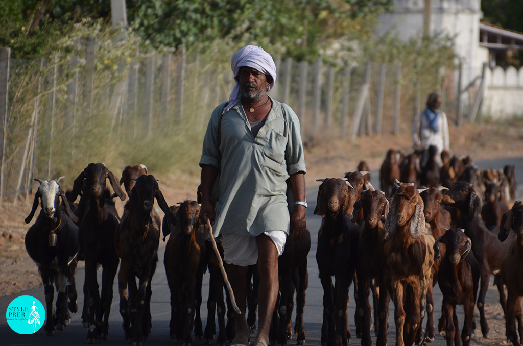A Local Villager Walking With His Flock Of Goats On The Roads Of Pushkar