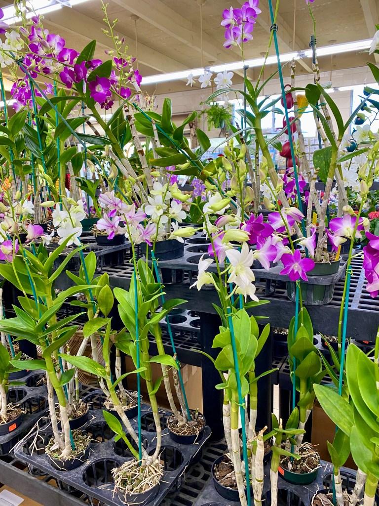Orchids at Koolau Farmers
