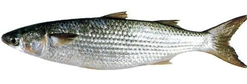 Types of fishes 24